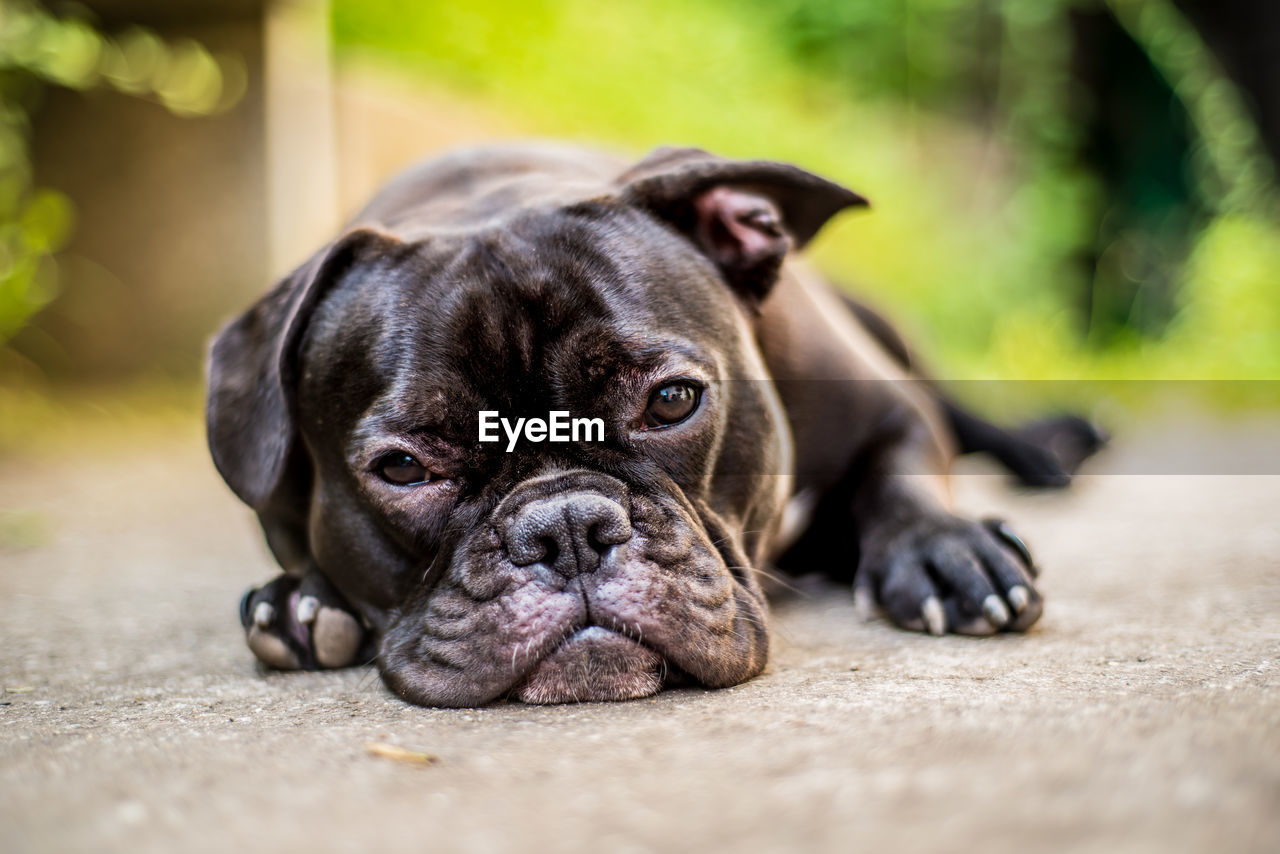 animal themes, one animal, animal, pets, dog, domestic animals, domestic, canine, vertebrate, mammal, portrait, relaxation, looking at camera, no people, pug, selective focus, day, lap dog, lying down, close-up, small, animal head, surface level
