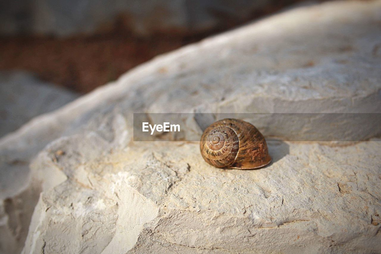 animal wildlife, animal, animal themes, shell, one animal, mollusk, snail, animals in the wild, invertebrate, close-up, animal shell, gastropod, solid, no people, rock, nature, focus on foreground, rock - object, day, brown, outdoors, crawling, small
