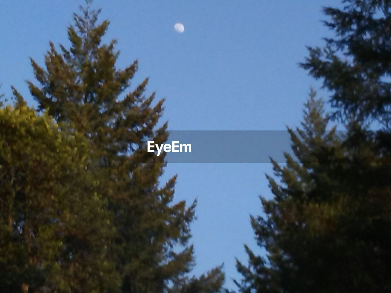 tree, plant, sky, low angle view, moon, beauty in nature, no people, nature, growth, clear sky, outdoors, tranquility, day, pine tree, branch, blue, coniferous tree, space, astronomy, tranquil scene, fir tree