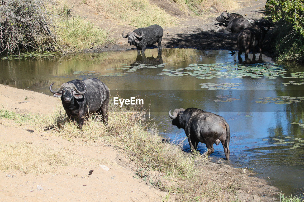 African Buffaloes Standing At Lakeshore