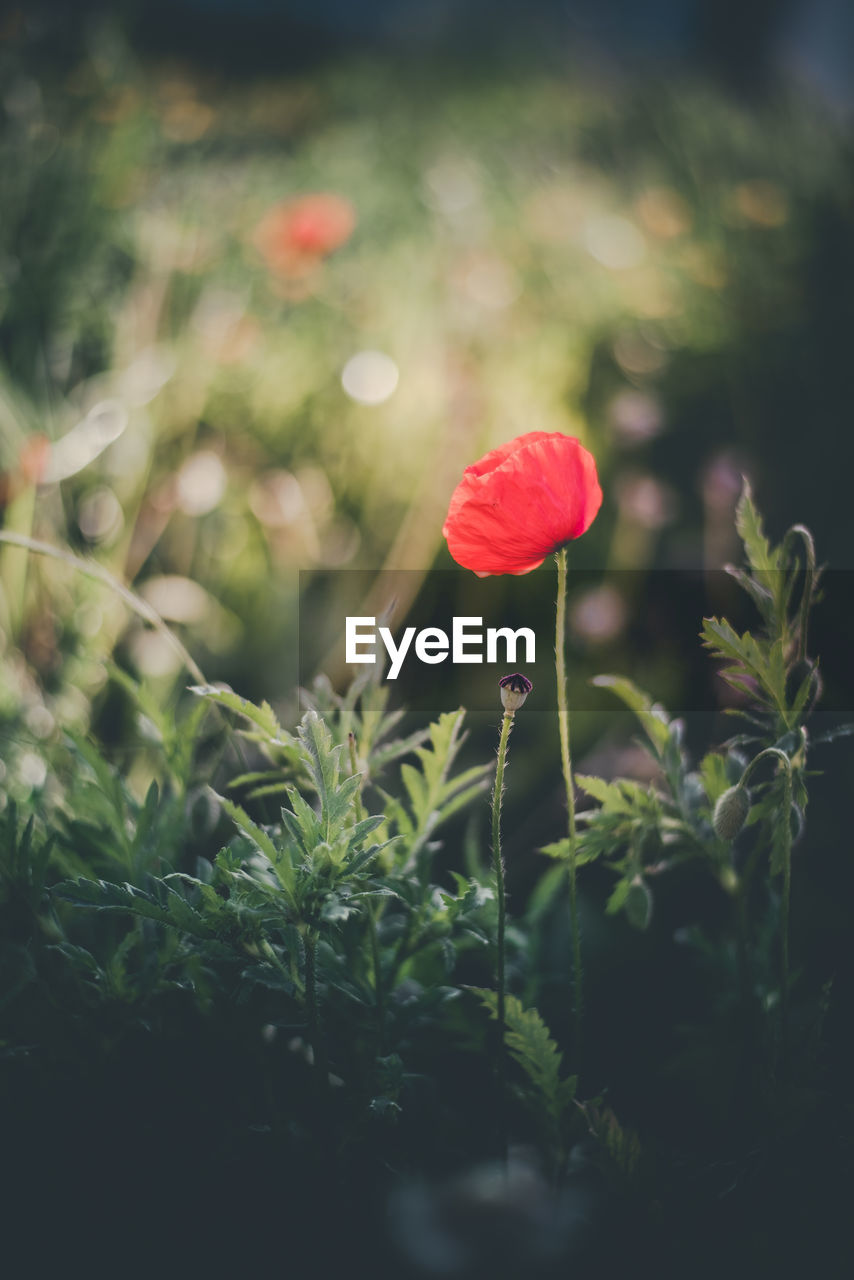 plant, beauty in nature, flowering plant, flower, freshness, growth, fragility, vulnerability, red, petal, close-up, nature, selective focus, no people, land, flower head, plant stem, green color, inflorescence, day, poppy, outdoors