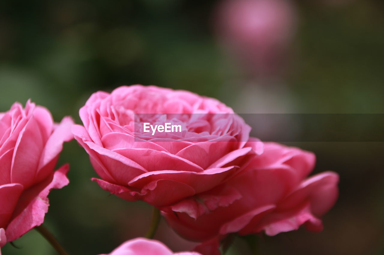 pink color, flower, flowering plant, beauty in nature, freshness, petal, plant, vulnerability, fragility, close-up, flower head, inflorescence, growth, nature, day, focus on foreground, no people, rose, selective focus, rose - flower