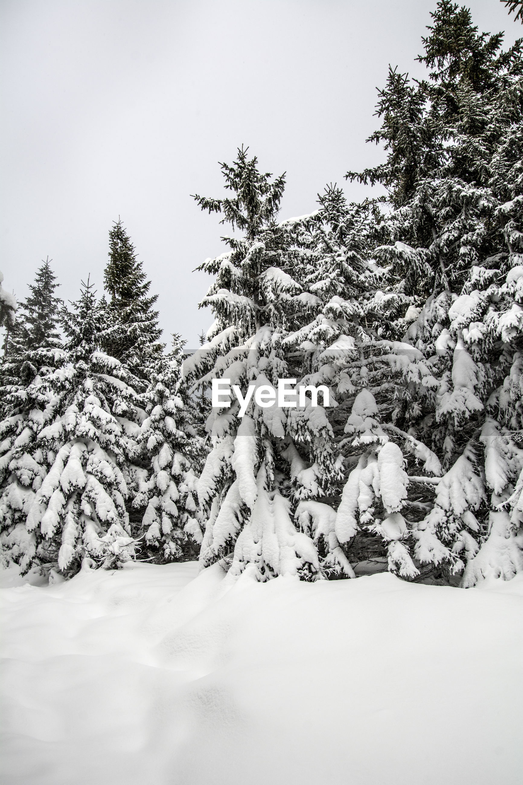 SNOW COVERED TREES AGAINST CLEAR SKY
