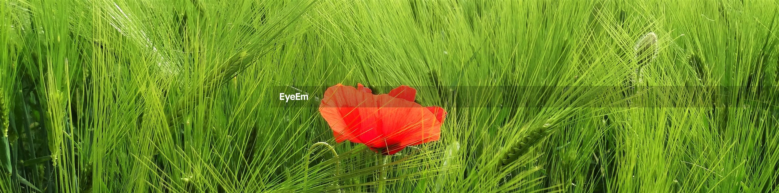 CLOSE-UP OF RED POPPY ON GRASS