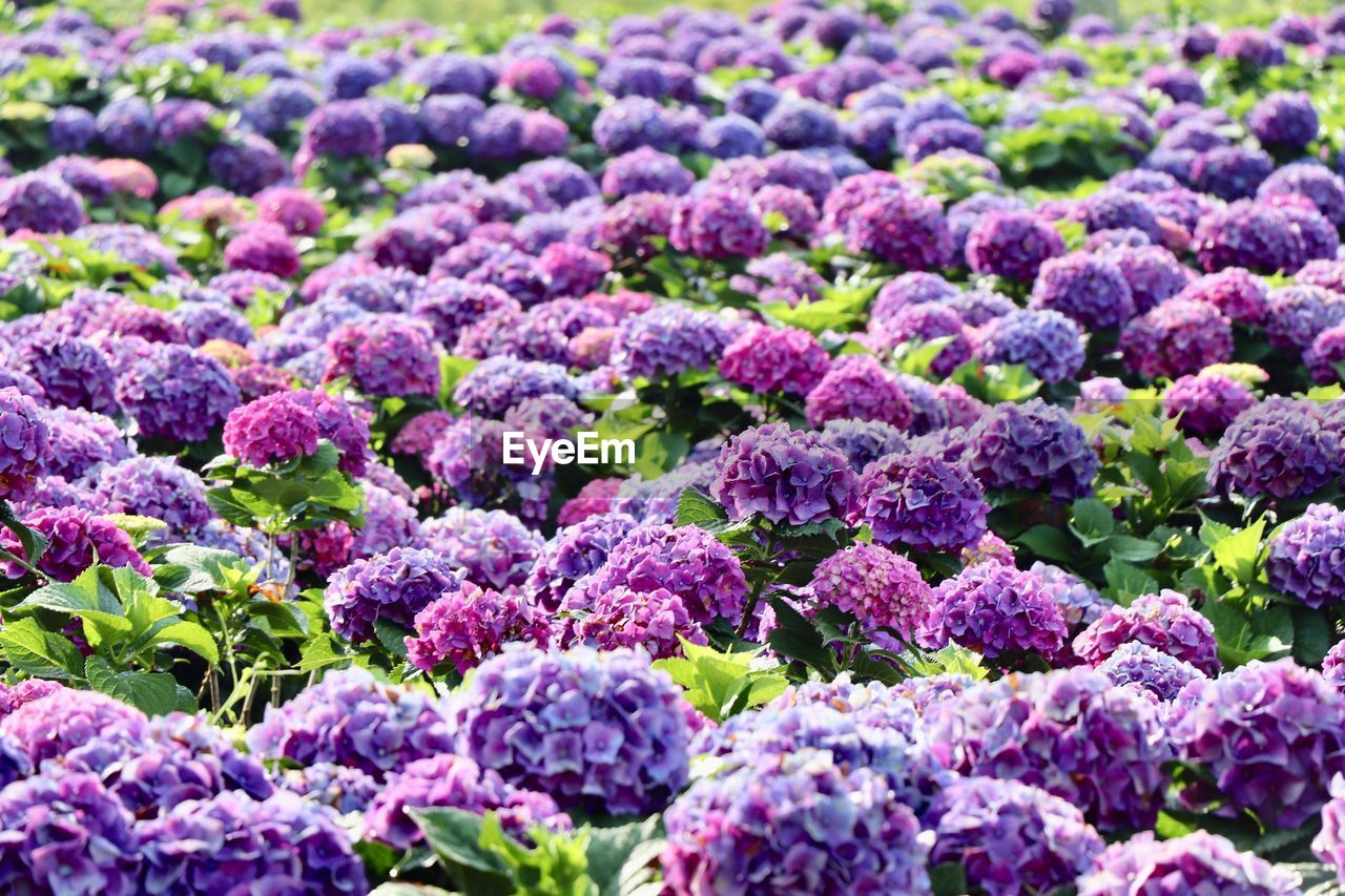 purple, freshness, food and drink, healthy eating, plant, nature, full frame, food, growth, no people, flower, backgrounds, selective focus, wellbeing, beauty in nature, vegetable, organic, abundance, plant part, leaf, outdoors, gardening, flowerbed, ornamental garden