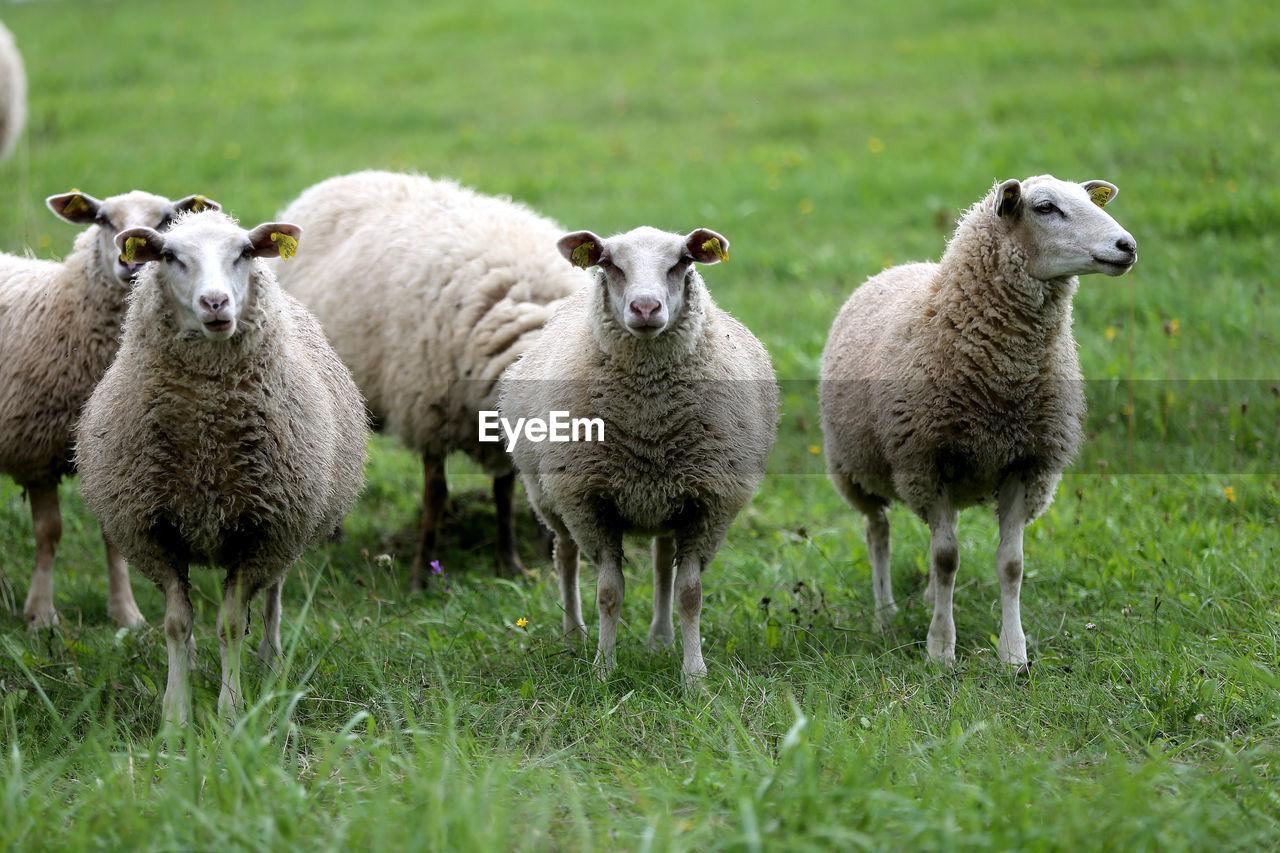 PORTRAIT OF SHEEP ON FARM