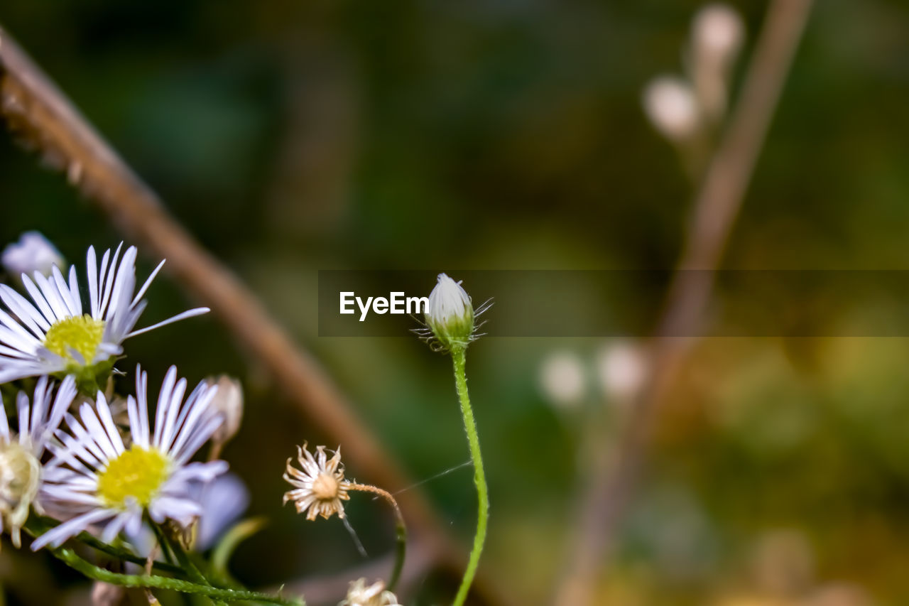 flower, flowering plant, growth, plant, fragility, vulnerability, beauty in nature, freshness, close-up, flower head, selective focus, inflorescence, focus on foreground, petal, day, white color, no people, nature, outdoors, botany, softness, sepal