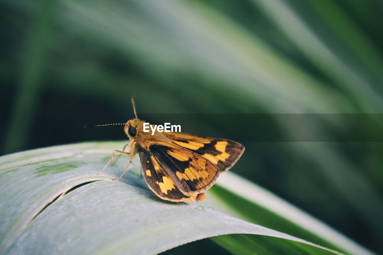 one animal, invertebrate, animal themes, insect, animal, animal wildlife, animals in the wild, animal wing, close-up, beauty in nature, butterfly - insect, day, no people, focus on foreground, nature, plant, moth, plant part, outdoors, leaf, butterfly