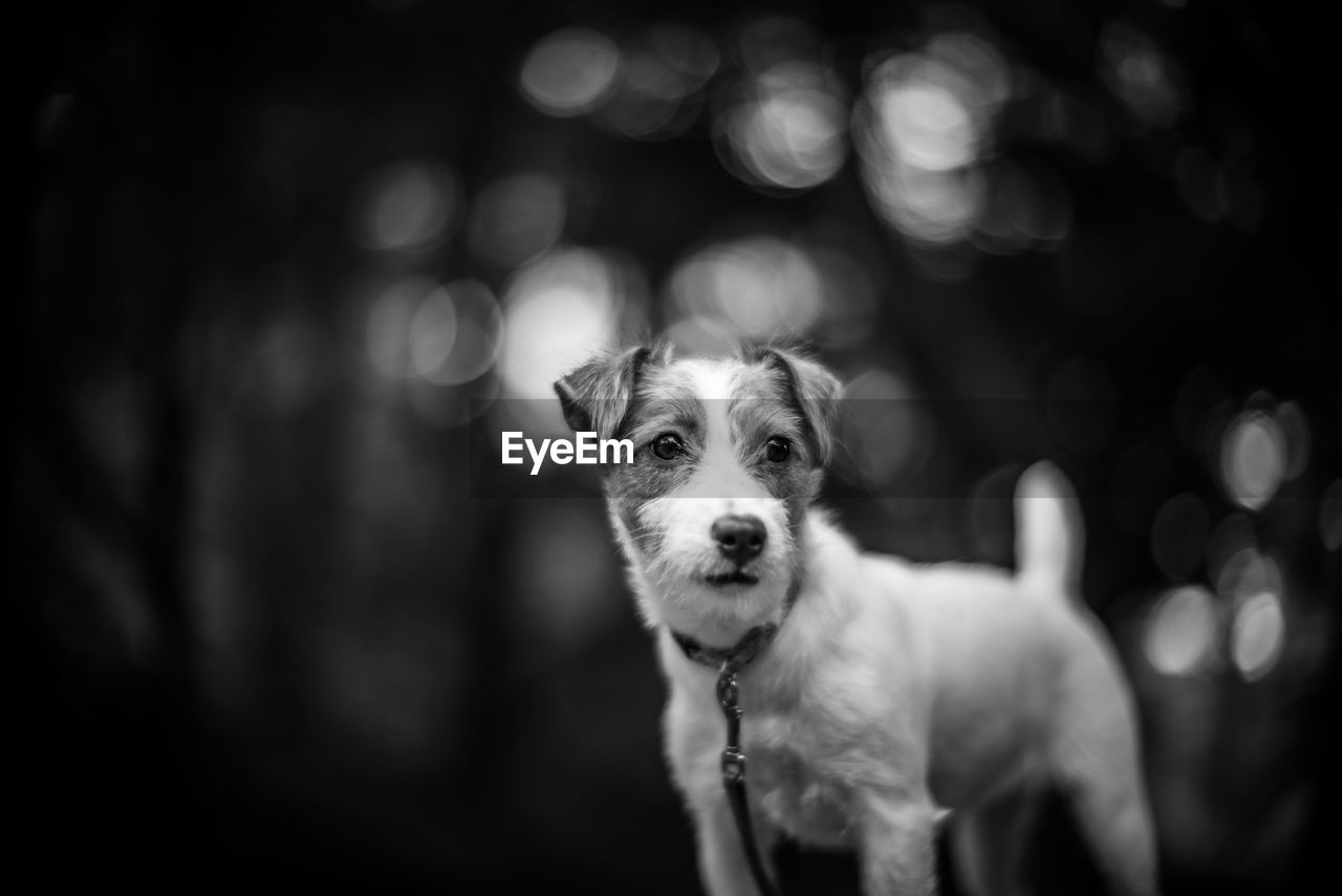 Jack Russell Looking Away While Standing