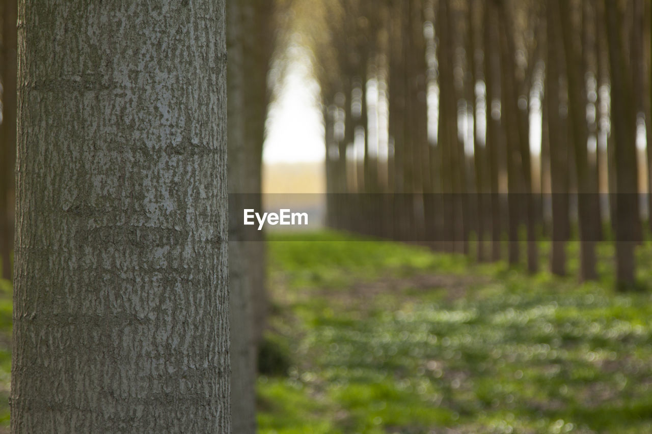 plant, tree trunk, tree, trunk, nature, tranquility, land, beauty in nature, no people, growth, tranquil scene, outdoors, day, selective focus, forest, wood - material, focus on foreground, scenics - nature, landscape, woodland, treelined, wooden post