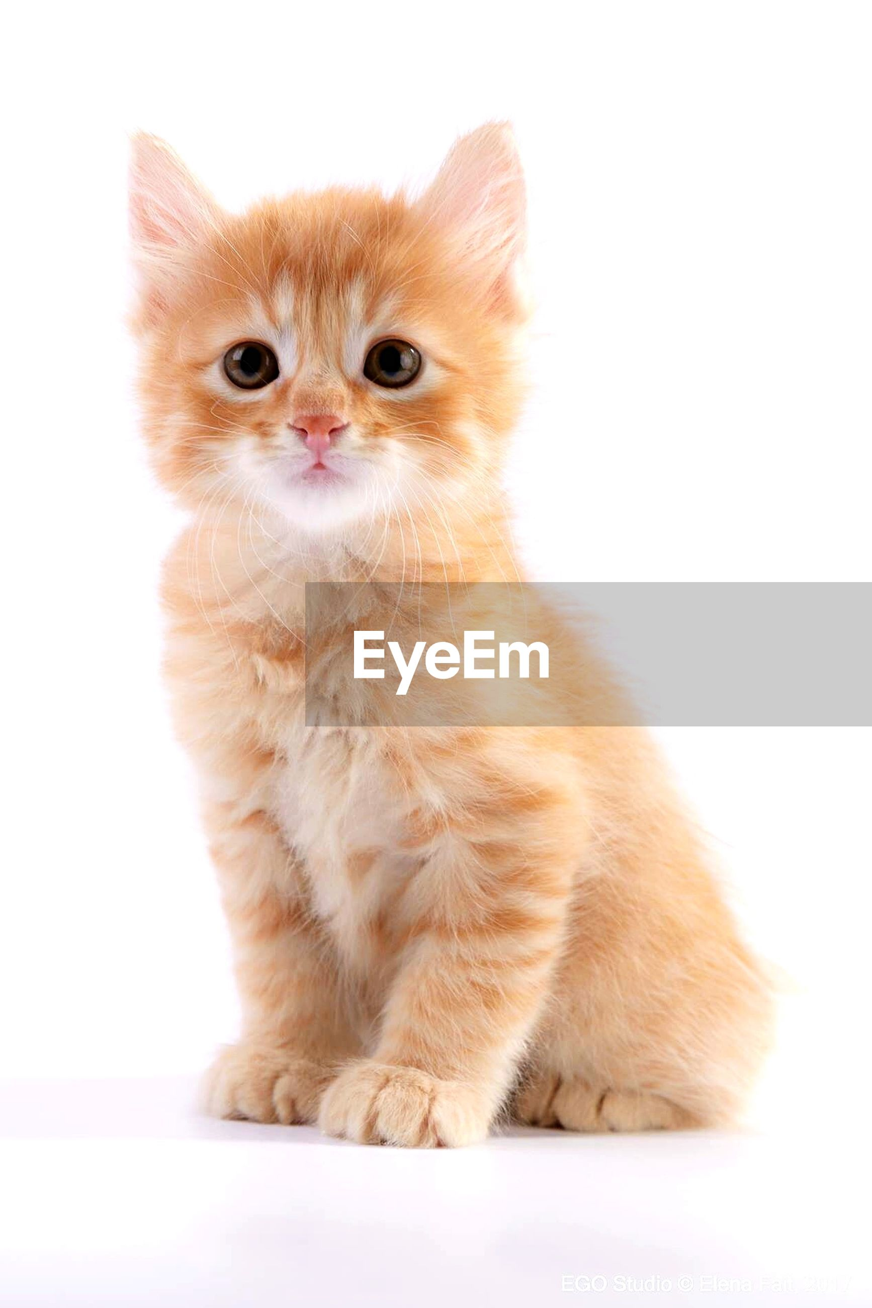 Portrait of cute kitten sitting against white background