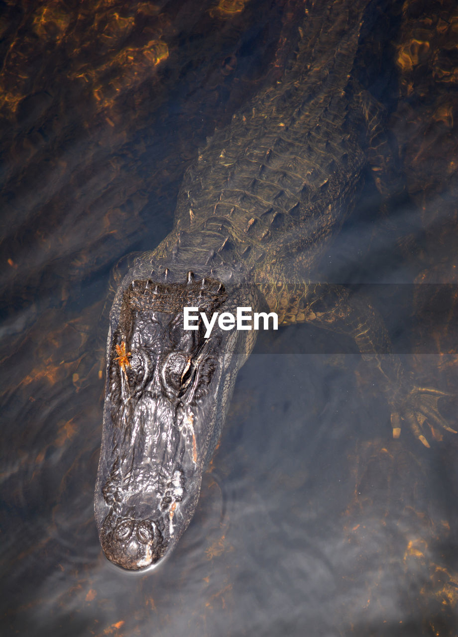 one animal, animal wildlife, animals in the wild, animal, animal themes, reptile, water, vertebrate, crocodile, swimming, nature, no people, animal body part, day, outdoors, close-up, sea, animal head, marine, stealth