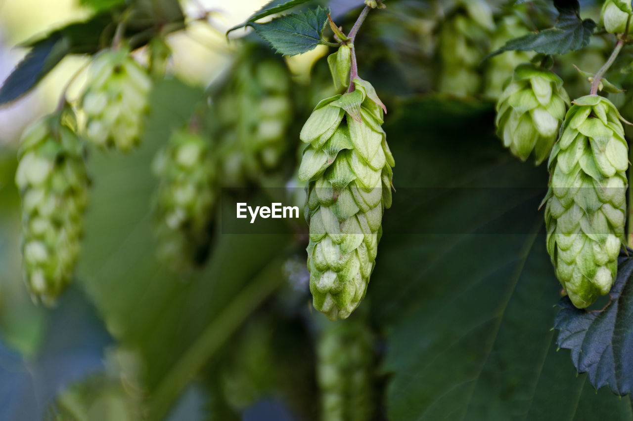 food and drink, green color, close-up, growth, healthy eating, food, no people, plant, freshness, day, focus on foreground, plant part, leaf, nature, vegetable, wellbeing, beauty in nature, fruit, raw food, outdoors