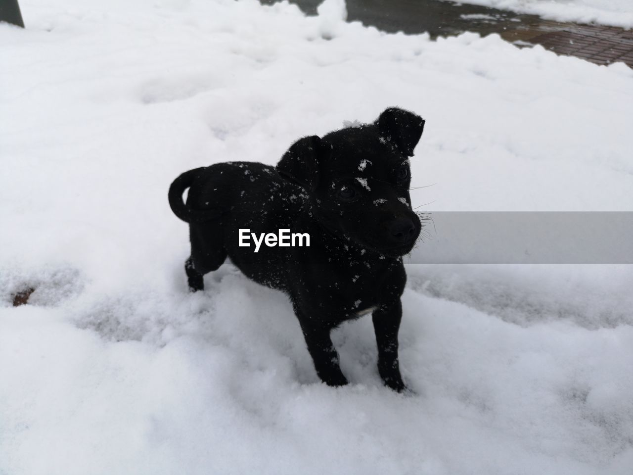 snow, winter, cold temperature, mammal, canine, dog, pets, domestic animals, domestic, one animal, animal themes, animal, white color, field, vertebrate, land, covering, nature, no people, snowing, extreme weather
