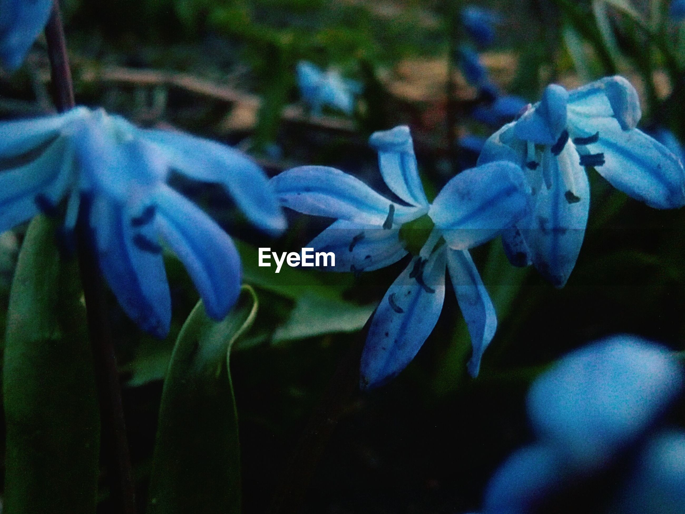 plant, growth, beauty in nature, close-up, flowering plant, flower, vulnerability, blue, fragility, petal, no people, freshness, nature, selective focus, inflorescence, flower head, day, land, plant part, outdoors, purple