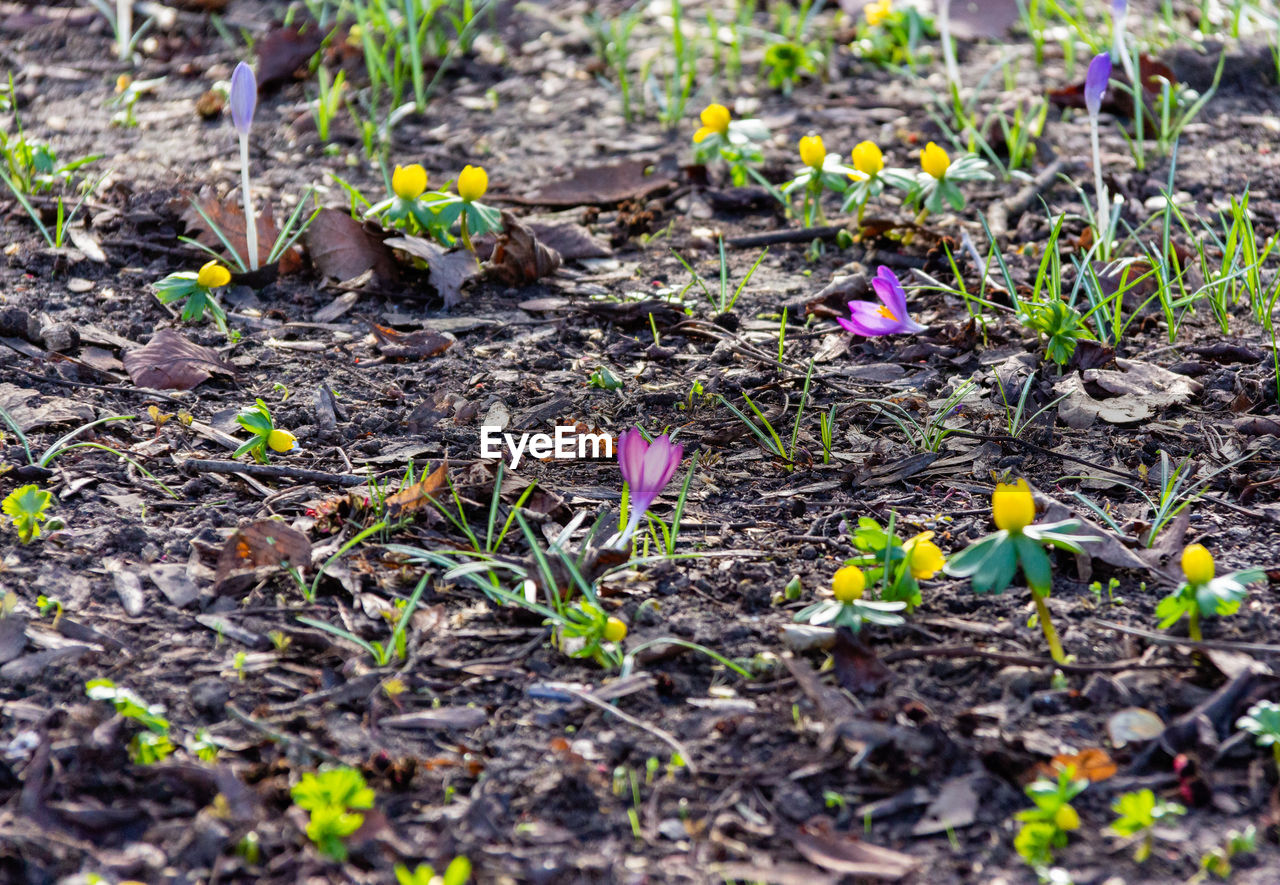 plant, flower, flowering plant, growth, nature, fragility, field, land, vulnerability, selective focus, no people, day, freshness, beauty in nature, close-up, dirt, outdoors, plant part, leaf, beginnings, crocus, purple