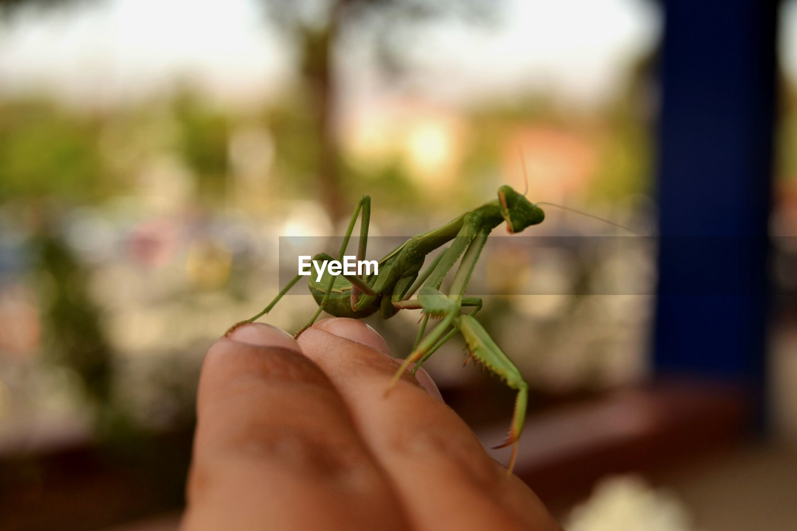 one animal, animal themes, animals in the wild, insect, wildlife, focus on foreground, close-up, green color, grasshopper, person, leaf, selective focus, animal antenna, one person, full length, zoology, nature, lizard, side view, outdoors