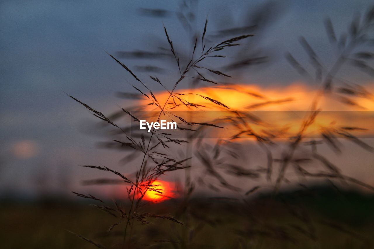 plant, beauty in nature, sunset, growth, sky, tranquility, nature, orange color, focus on foreground, cloud - sky, no people, close-up, silhouette, tranquil scene, field, land, scenics - nature, grass, outdoors, selective focus, stalk, timothy grass
