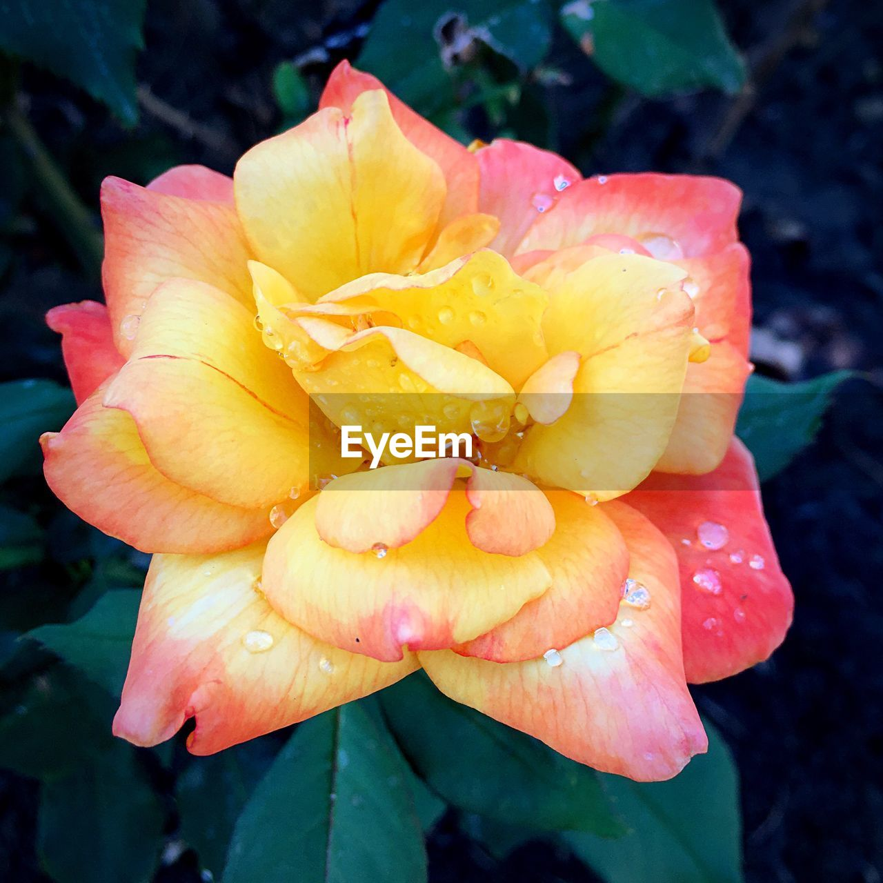 petal, flower, beauty in nature, drop, flower head, nature, fragility, wet, freshness, growth, outdoors, water, close-up, no people, plant, day, blooming, pink color, raindrop, yellow