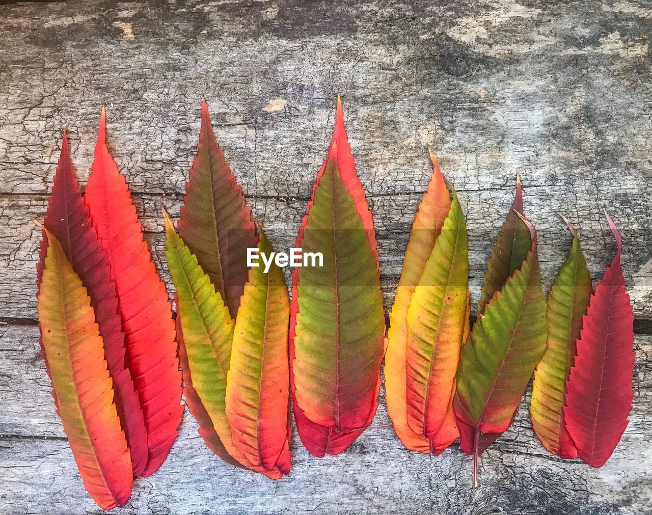 CLOSE-UP OF MULTI COLORED LEAVES