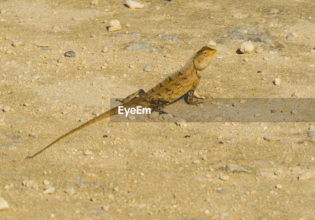 animal themes, one animal, animal, animal wildlife, animals in the wild, reptile, vertebrate, lizard, no people, land, nature, day, full length, outdoors, sand, gecko, high angle view, environment, chameleon, desert, arid climate