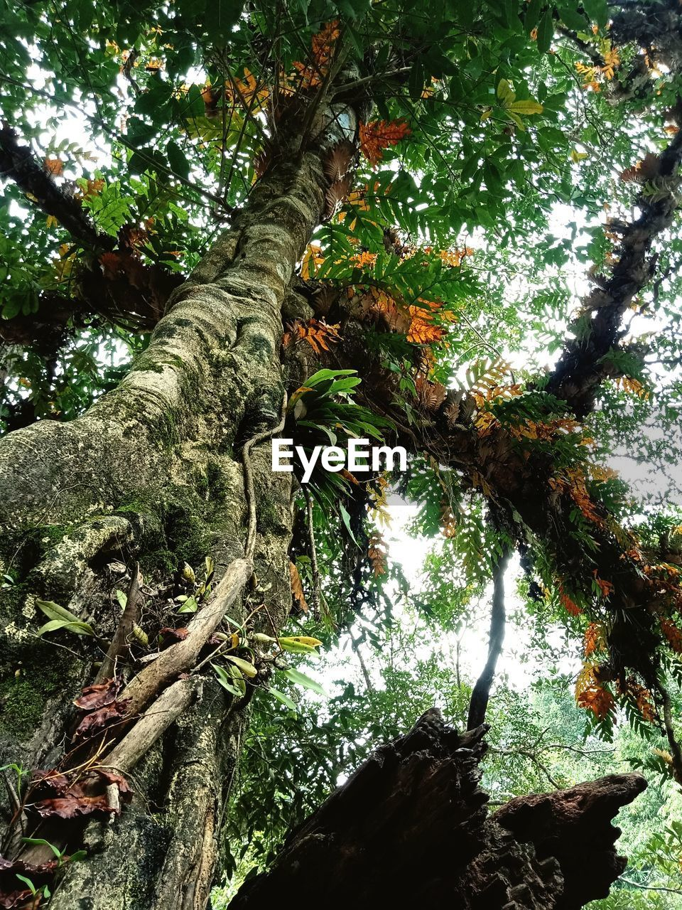 tree, plant, growth, tree trunk, nature, trunk, low angle view, branch, plant part, tranquility, day, land, beauty in nature, forest, no people, outdoors, leaf, sunlight, green color, scenics - nature, tree canopy