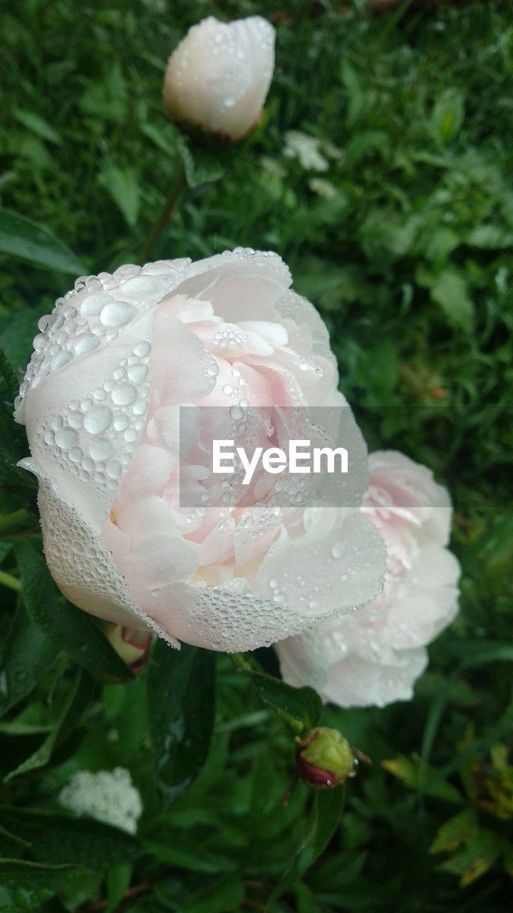 plant, vulnerability, growth, fragility, drop, freshness, close-up, water, flower, flowering plant, beauty in nature, nature, petal, wet, no people, white color, inflorescence, flower head, day, outdoors, dew, raindrop