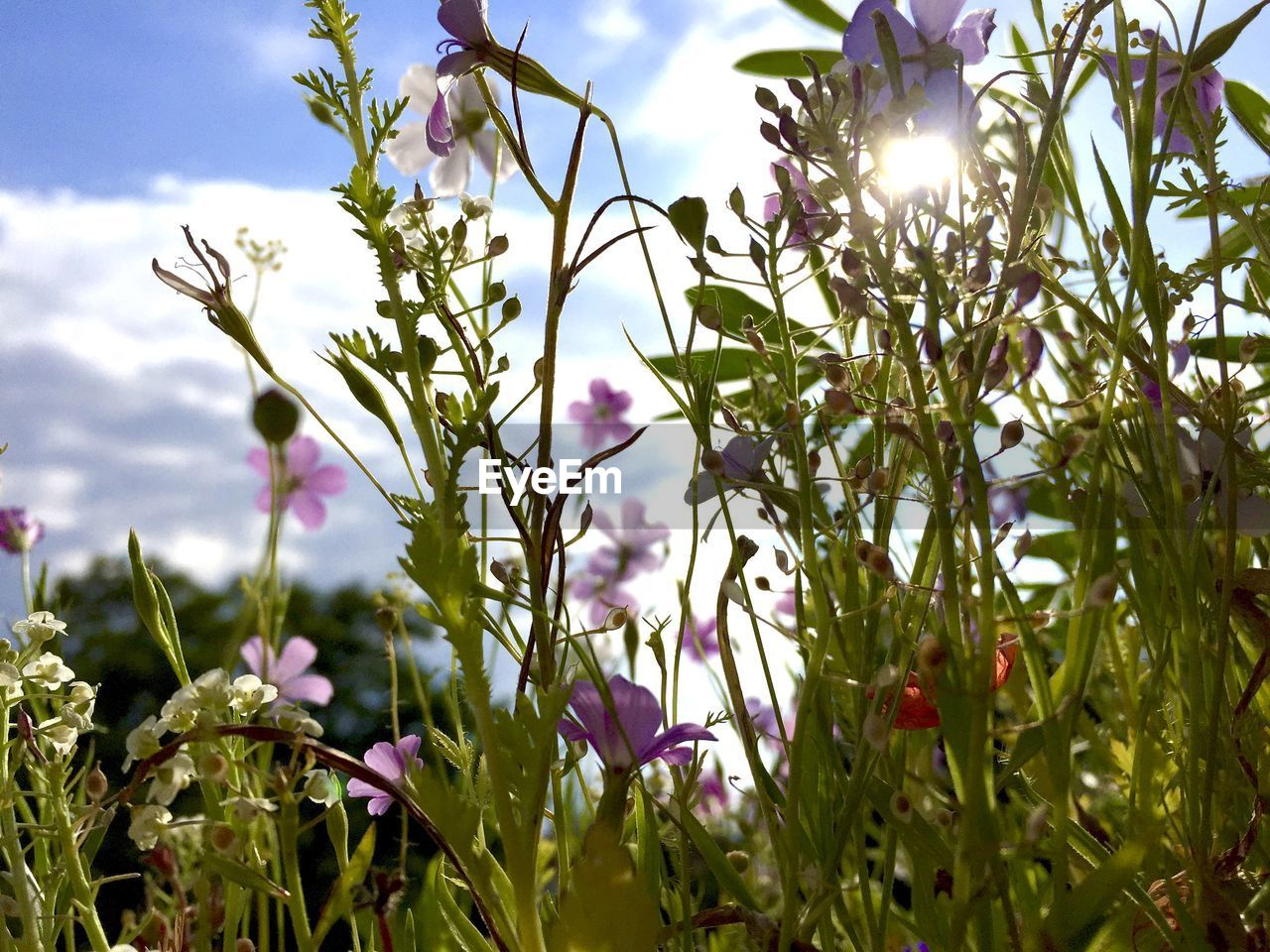 flower, growth, nature, beauty in nature, freshness, fragility, petal, plant, outdoors, no people, day, purple, sunlight, close-up, blooming, sky, tree, flower head