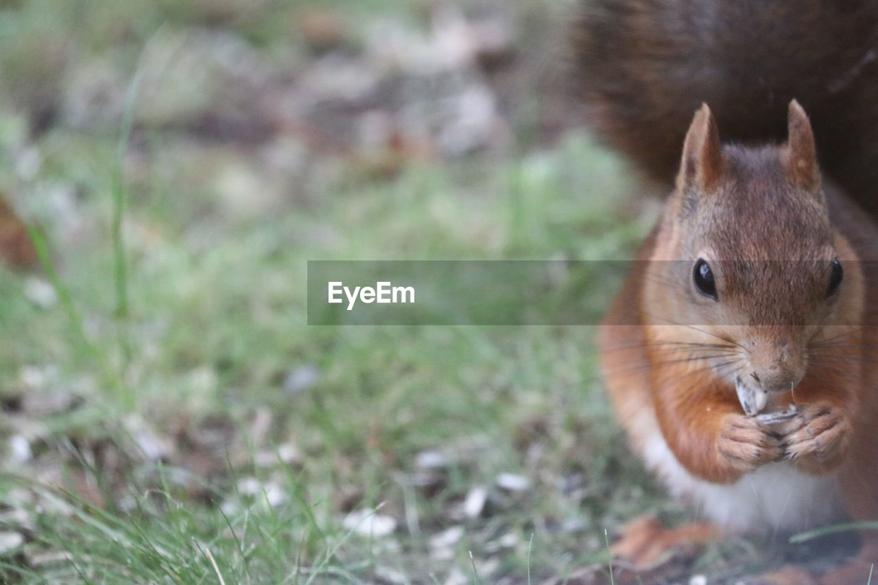 animal themes, animal, one animal, mammal, rodent, animal wildlife, vertebrate, animals in the wild, land, field, squirrel, day, no people, close-up, focus on foreground, nature, pets, grass, domestic animals, outdoors, whisker, animal head, herbivorous