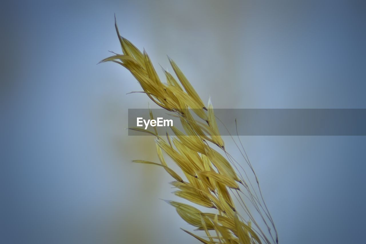 growth, plant, close-up, beauty in nature, crop, nature, no people, cereal plant, agriculture, day, fragility, focus on foreground, vulnerability, selective focus, wheat, tranquility, outdoors, sky, yellow, freshness, stalk