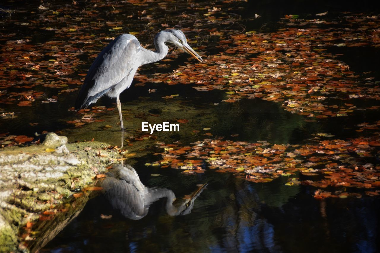 animals in the wild, one animal, animal themes, heron, water, bird, gray heron, great blue heron, animal wildlife, day, lake, leaf, nature, autumn, outdoors, no people, great egret, full length, beak, perching, beauty in nature, close-up