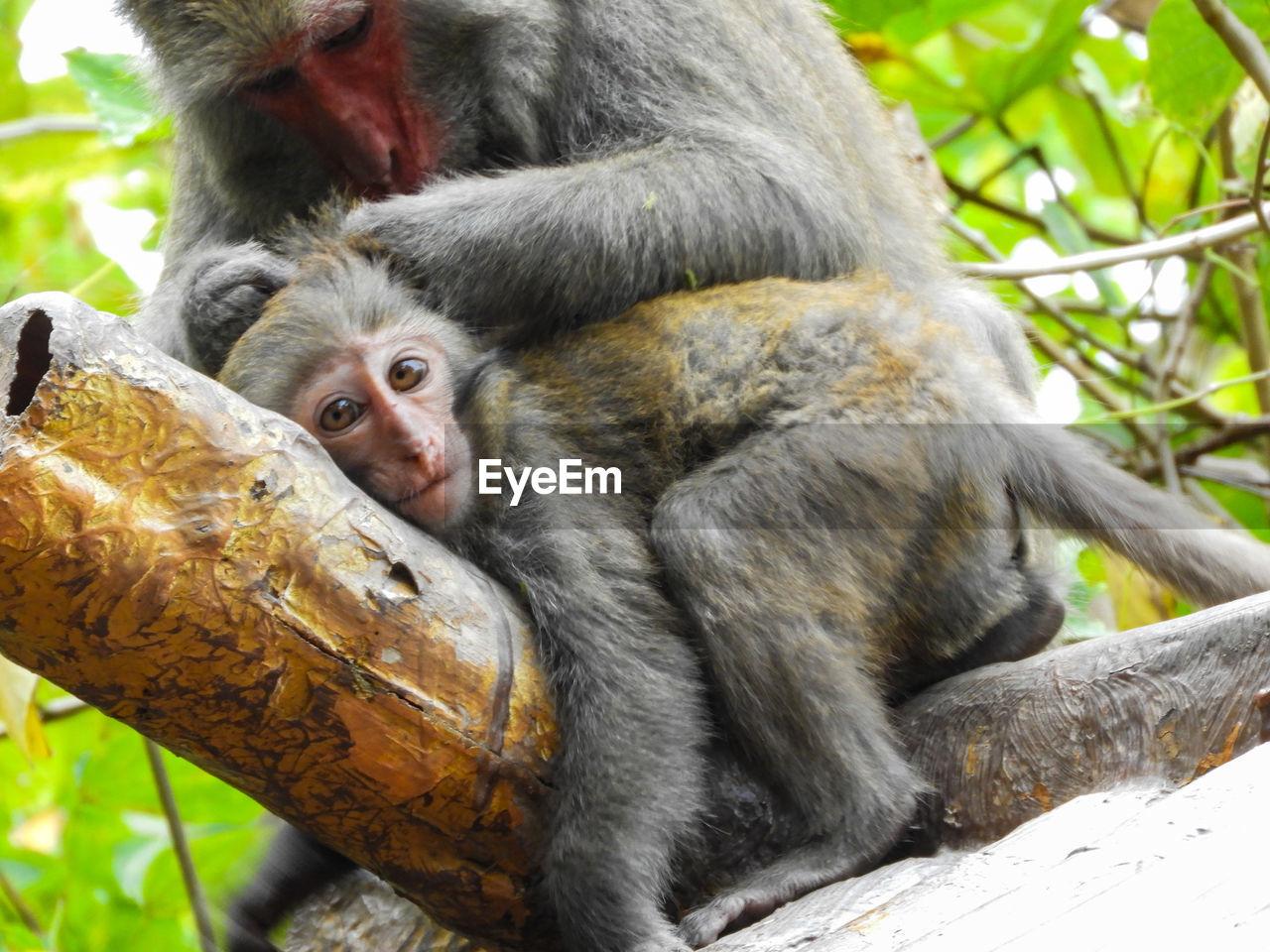 Close-up of monkey with baby monkey
