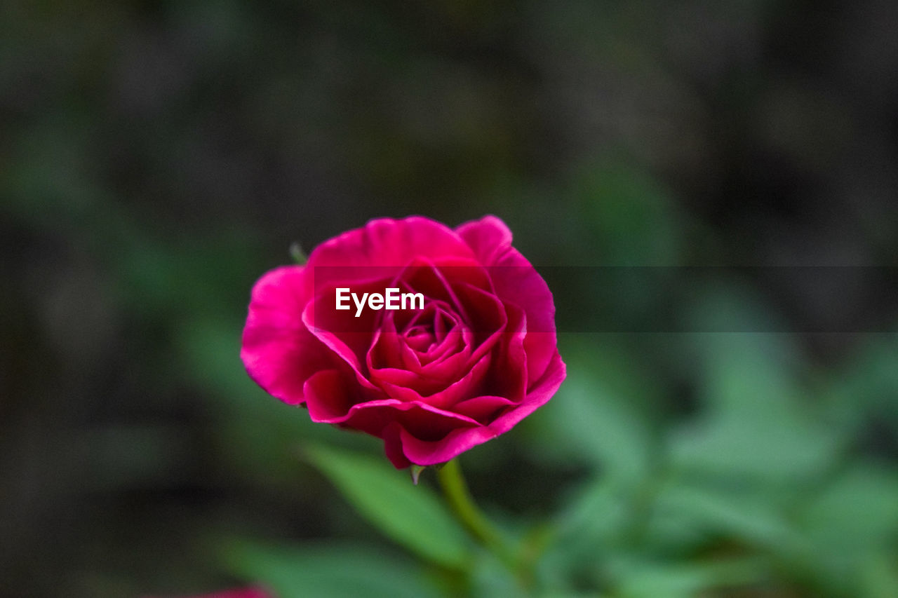 flower, flowering plant, beauty in nature, rose, inflorescence, petal, plant, flower head, rose - flower, close-up, vulnerability, fragility, freshness, growth, pink color, focus on foreground, nature, no people, outdoors