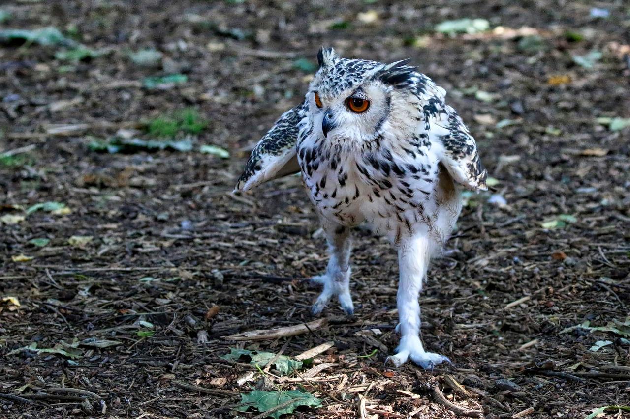 Eagle Owl On Field