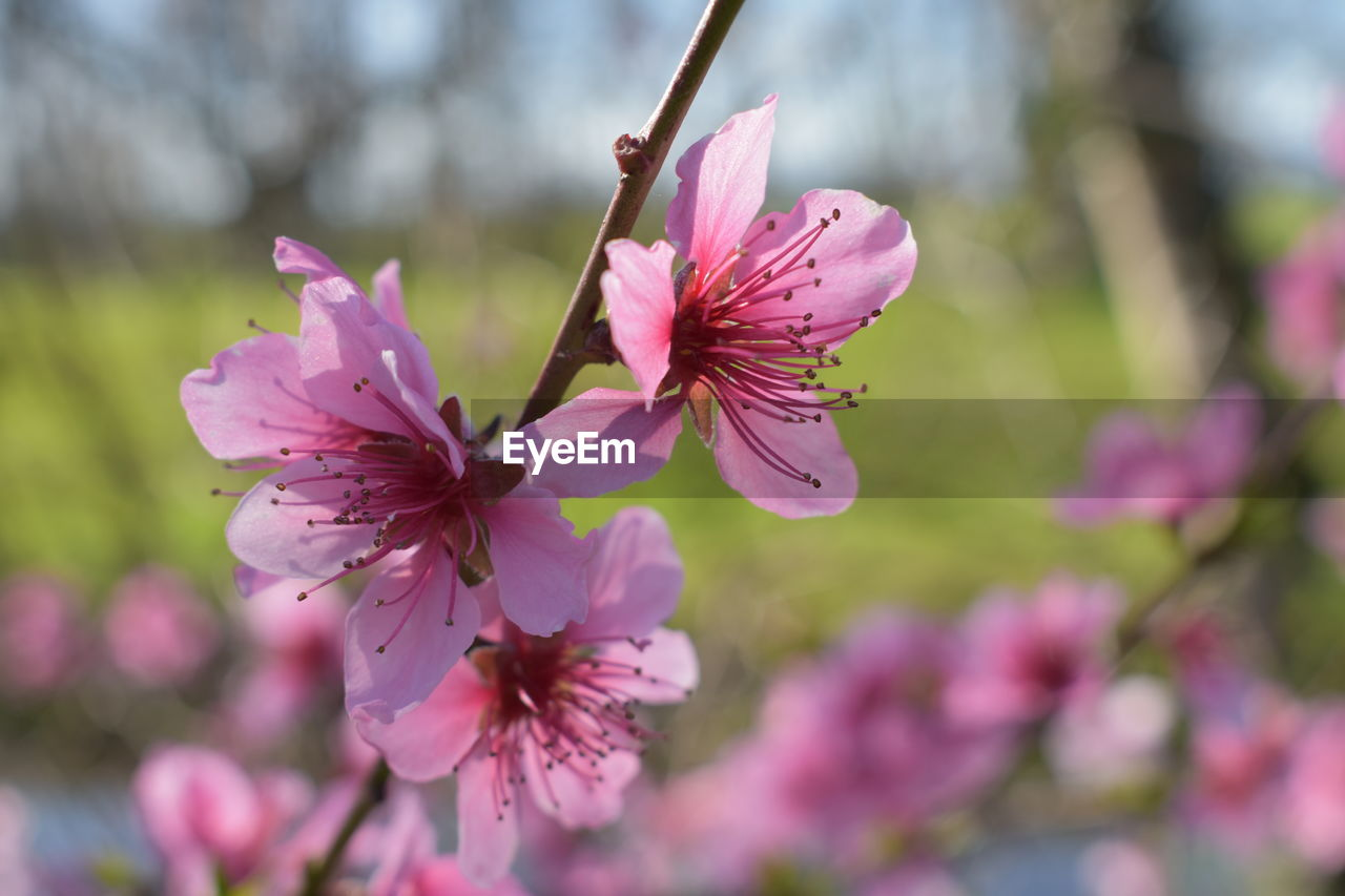 flower, flowering plant, freshness, fragility, vulnerability, plant, petal, growth, beauty in nature, pink color, flower head, inflorescence, close-up, focus on foreground, nature, day, no people, purple, pollen, selective focus, springtime
