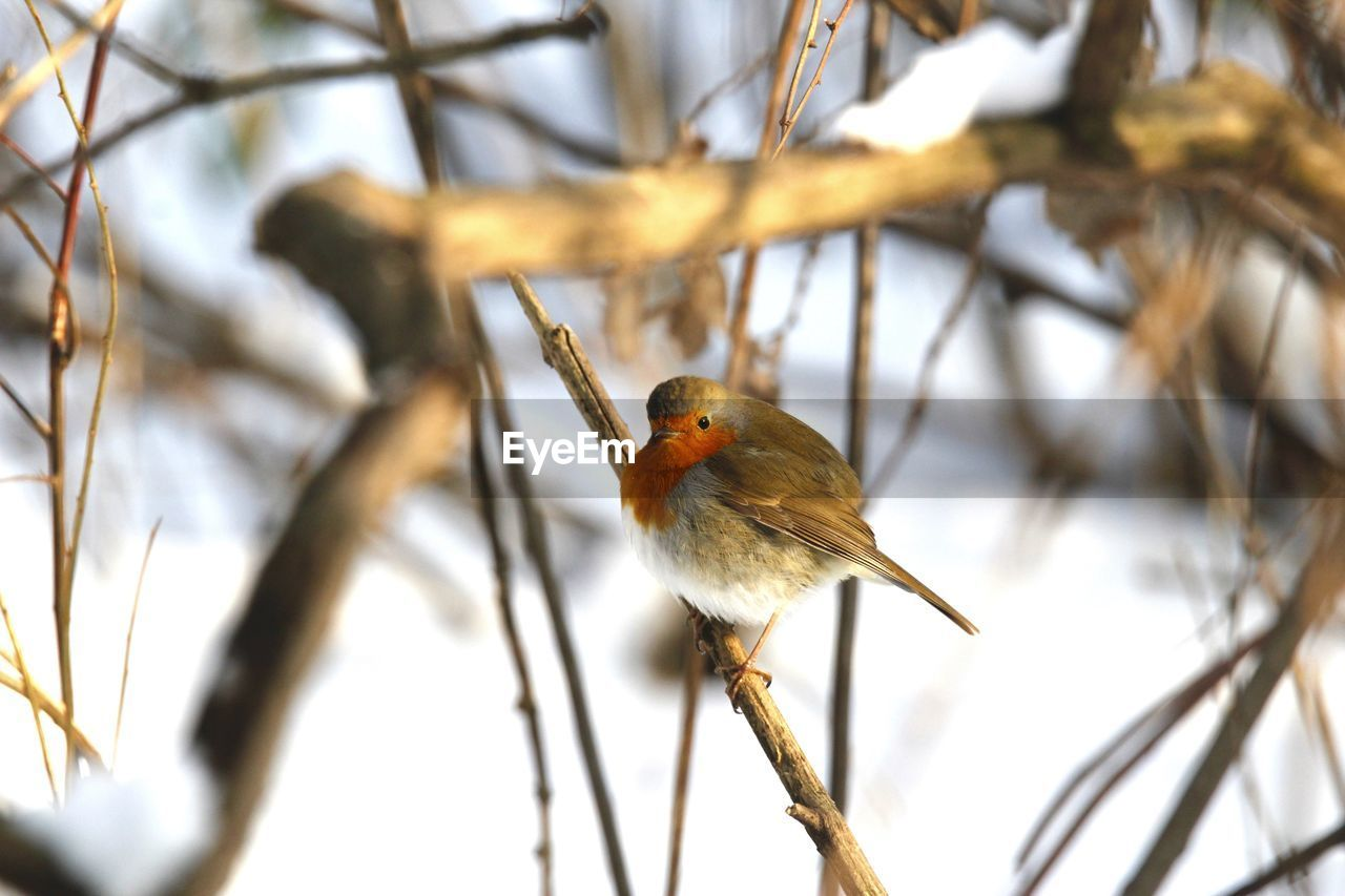 one animal, animals in the wild, bird, perching, animal themes, animal wildlife, nature, branch, focus on foreground, no people, outdoors, day, beauty in nature, close-up, tree, robin