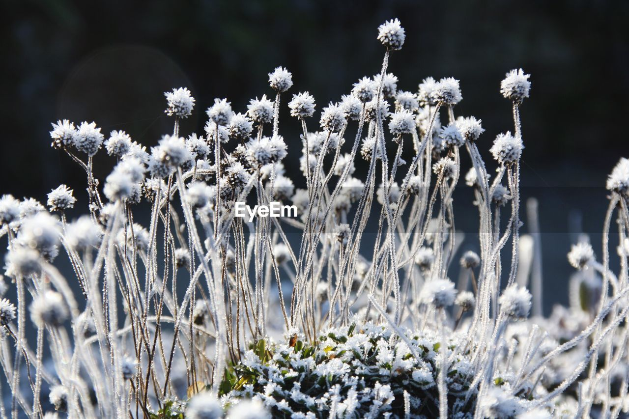 Close-Up Of Frosted Flowers On Field