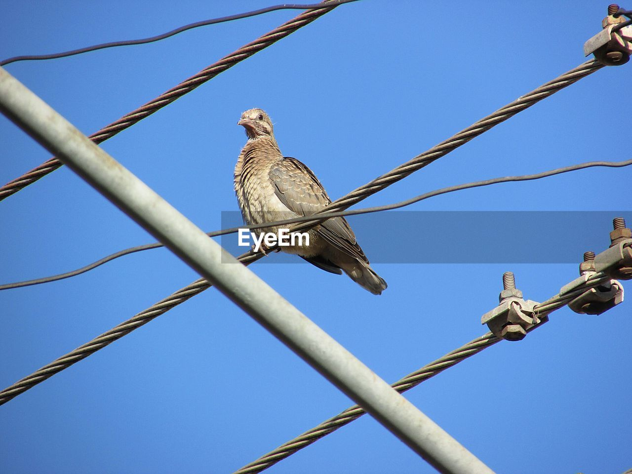 animal, bird, animal wildlife, vertebrate, animal themes, low angle view, animals in the wild, sky, perching, clear sky, blue, one animal, nature, no people, day, cable, tree, branch, power line, outdoors, electricity, mourning dove, power supply