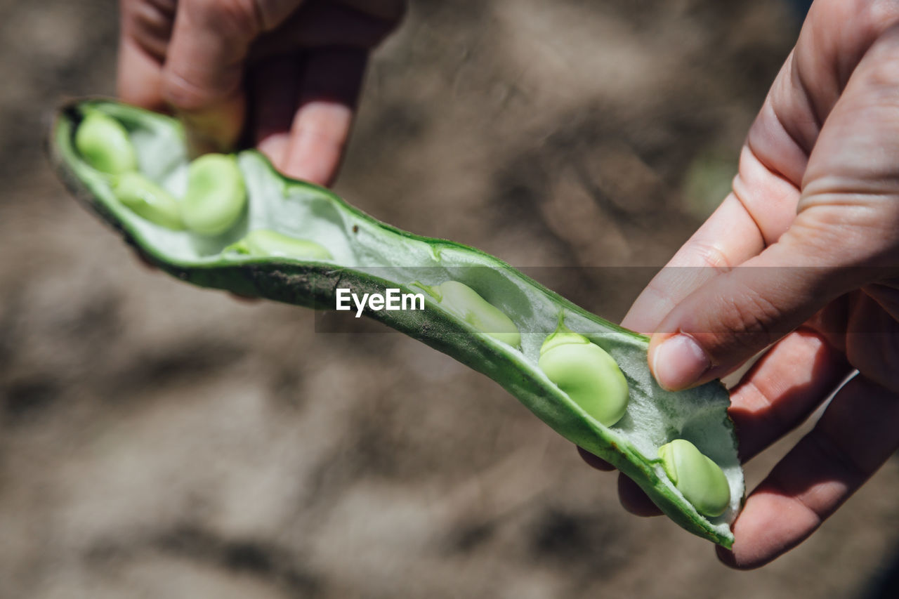 Cropped Image Of Person Holding Broad Beans