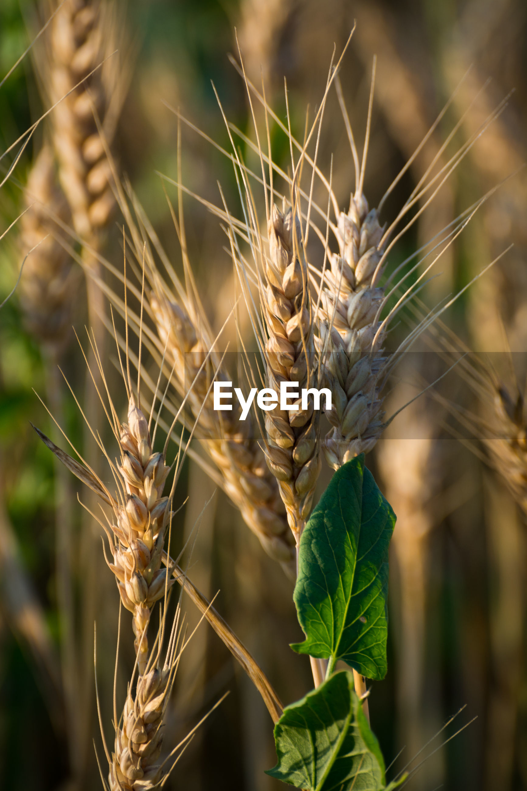 Close-up of crops against blurred background
