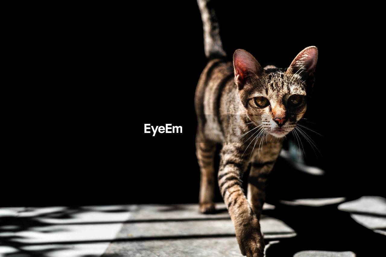 Portrait Of Tabby Cat Walking On Floor In Darkroom