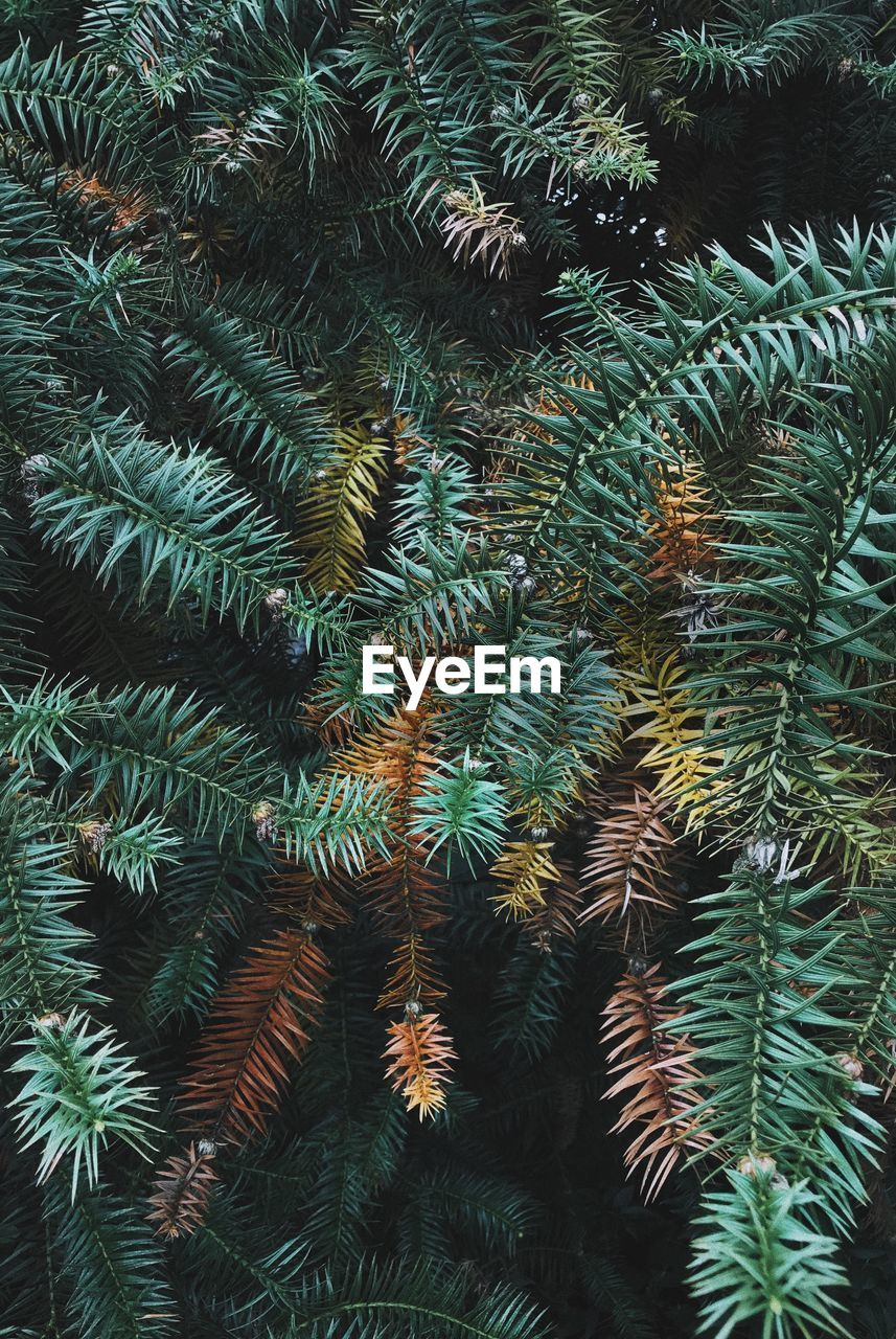 growth, plant, tree, no people, nature, green color, beauty in nature, day, backgrounds, pine tree, branch, close-up, full frame, tranquility, coniferous tree, outdoors, needle - plant part, leaf, low angle view, fir tree