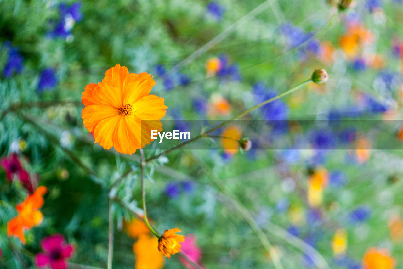 flowering plant, flower, freshness, plant, fragility, vulnerability, beauty in nature, petal, growth, flower head, close-up, inflorescence, focus on foreground, no people, nature, day, yellow, cosmos flower, outdoors, plant stem, pollen, purple