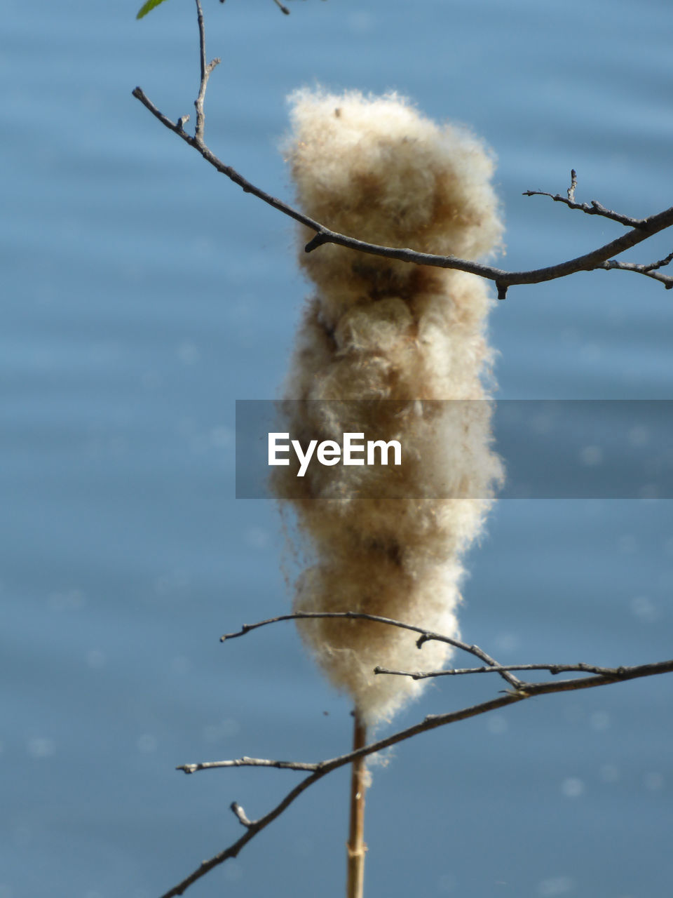 plant, twig, no people, nature, day, focus on foreground, close-up, low angle view, sky, tree, branch, outdoors, selective focus, softness, pussy willow, cattail, white color, beauty in nature, cloud - sky, vulnerability, stick - plant part