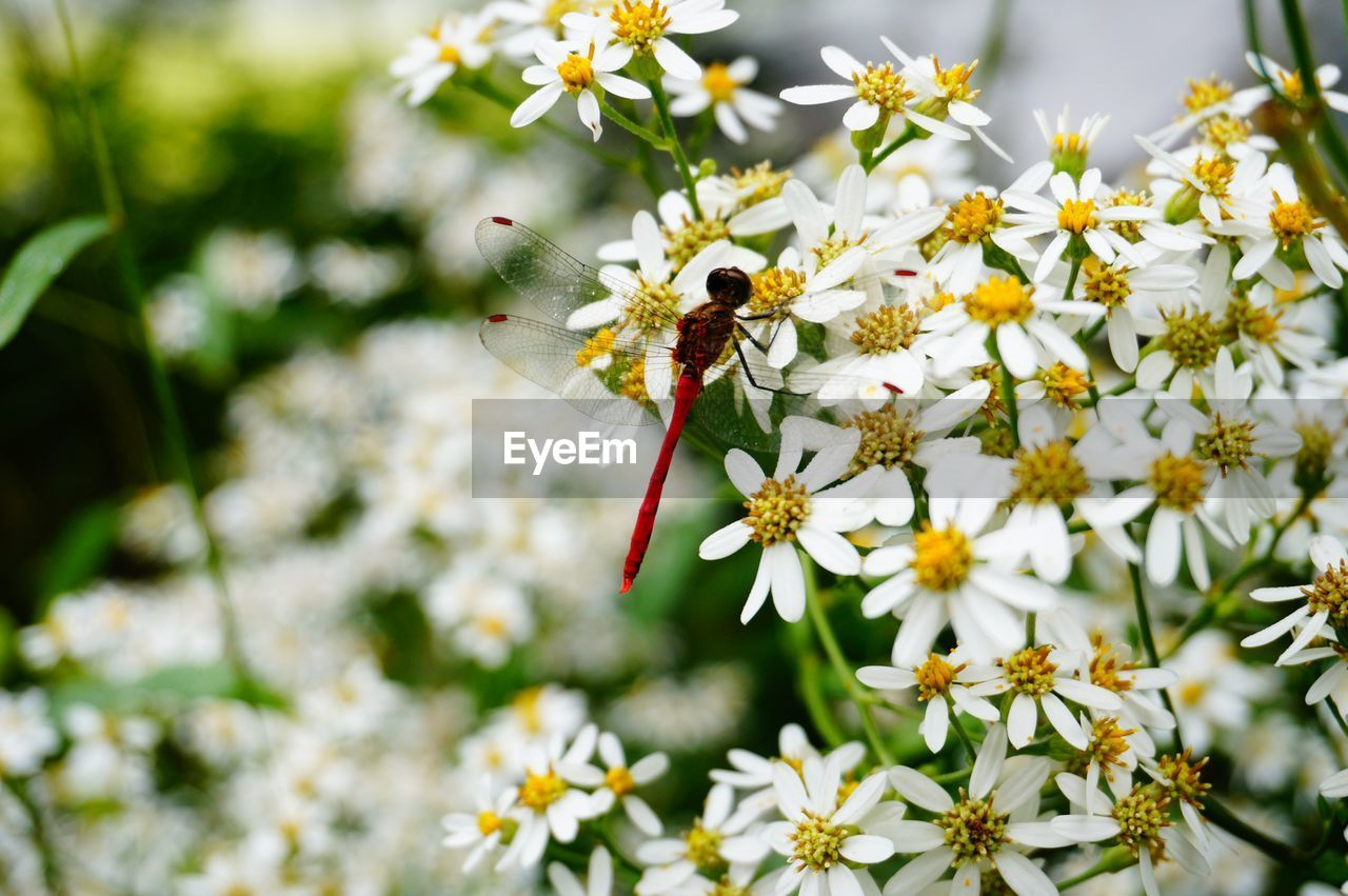 Close-up of dragonfly on white flowers
