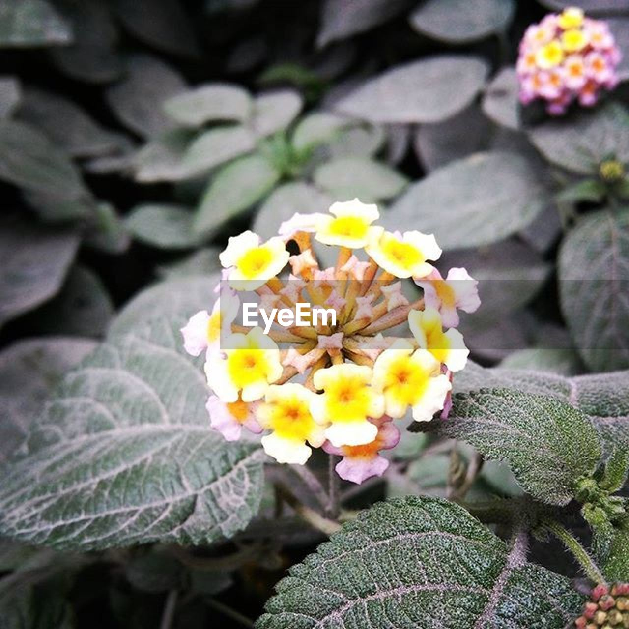flower, growth, freshness, beauty in nature, petal, fragility, nature, flower head, plant, day, lantana camara, outdoors, blooming, close-up, no people, leaf