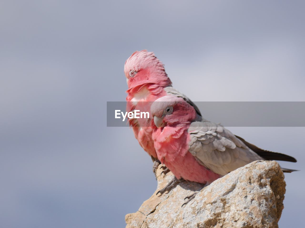 bird, animals in the wild, pink color, one animal, animal wildlife, animal themes, no people, beak, perching, close-up, outdoors, nature, day, cockatoo