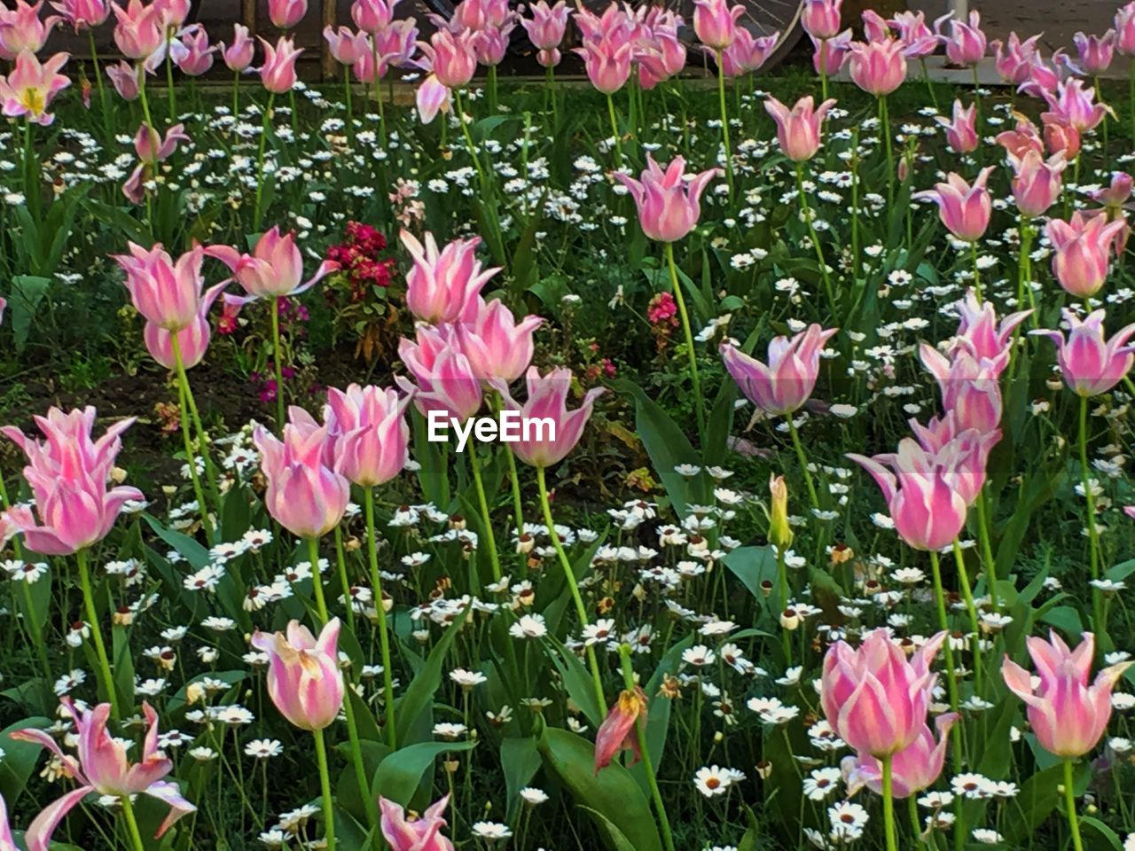 flowering plant, flower, pink color, freshness, plant, beauty in nature, vulnerability, petal, fragility, growth, close-up, nature, flower head, inflorescence, no people, day, green color, field, land, plant part, outdoors, springtime, flowerbed
