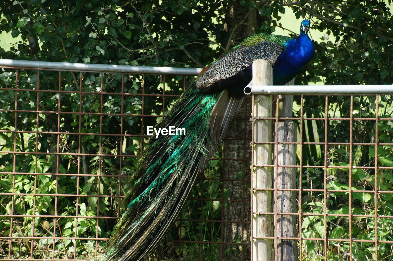 bird, peacock, one animal, animal themes, animals in the wild, animal wildlife, zoo, feather, cage, nature, animal crest, blue, peacock feather, no people, perching, day, full length, beauty in nature, outdoors, close-up, fanned out, tree, hornbill