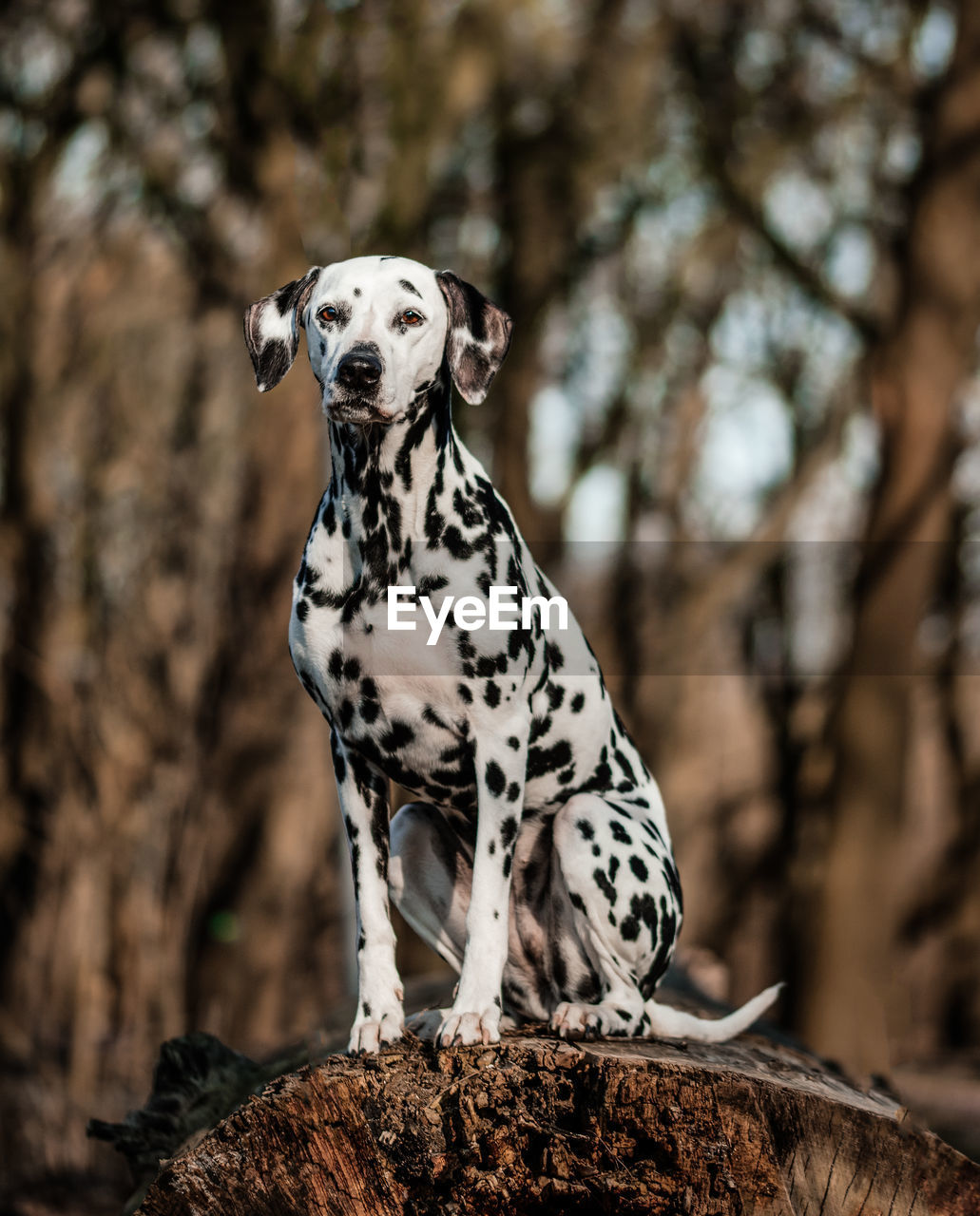 one animal, animal themes, animal, dog, dalmatian dog, mammal, canine, tree, focus on foreground, vertebrate, pets, domestic animals, spotted, domestic, no people, looking, day, nature, plant, outdoors, purebred dog, animal head